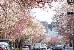 春には八重桜が満開に!